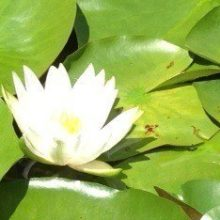 Image of water lilly