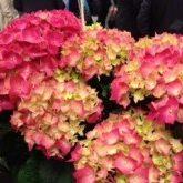 Image of hydrangea flower heads