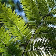 Image of fern leaves