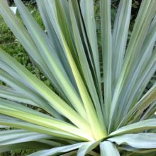 Image of yucca plant