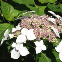 Image of white hydrangea flower head