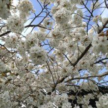 Image cherry white blossom