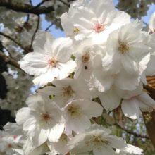 Image white blossom