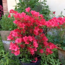 Image red shrub in flower