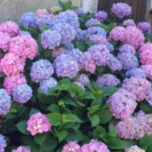 Image blue hydrangeas