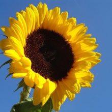 sunflower-in-blue-sky
